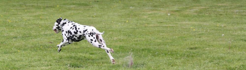 Dalmatiner Sprint beim Hunderennen